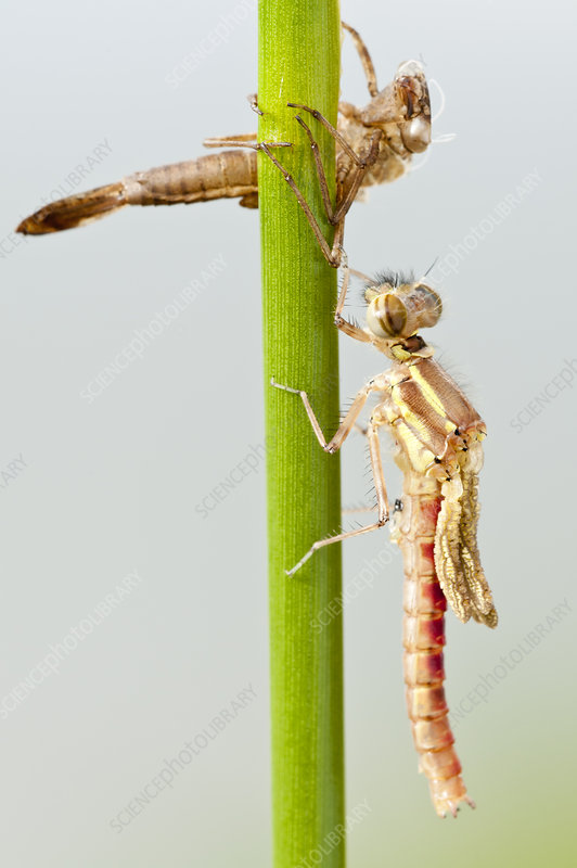 Large red damselfly emerging from nymphal case, Cornwall, UK