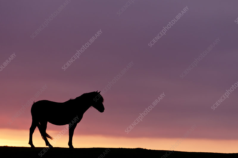 Silhouetted Dartmoor pony at sunrise