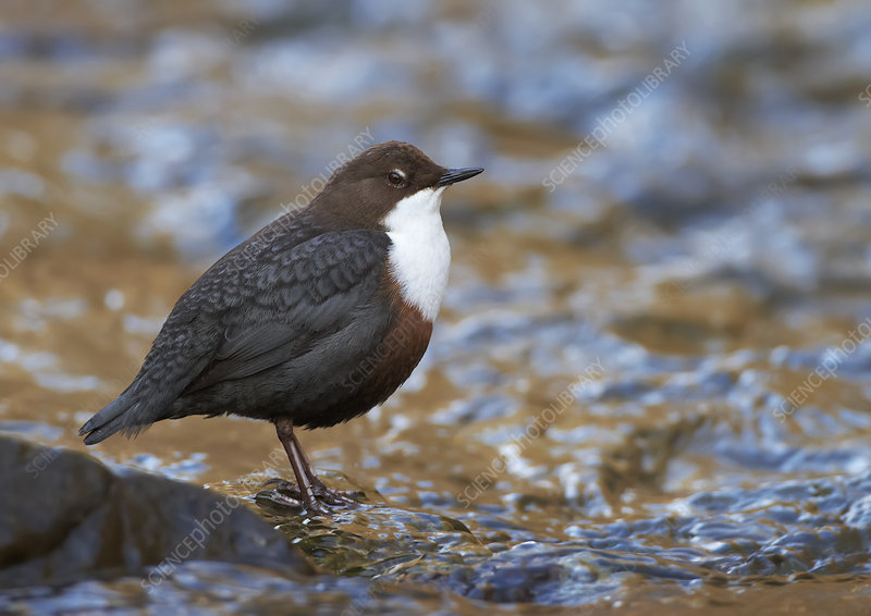 Dipper standing in stream, Clwyd, Wales, UK, February