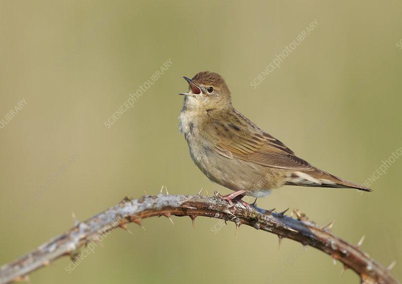 Grasshopper warbler singing, Wirral, England, UK, May