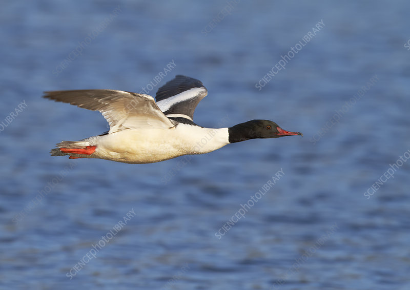 Male Goosander flying over water