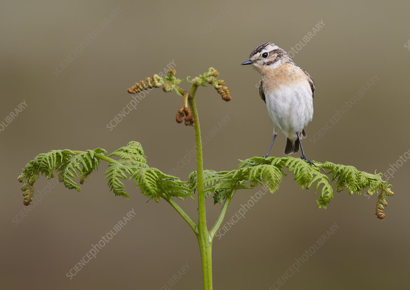 Female whinchat perched on bracken frond