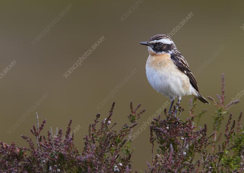 Male Whinchat perched on moorland heather