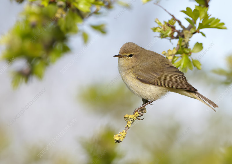 Chiffchaff perched on Hawthorn twig, Cheshire, April
