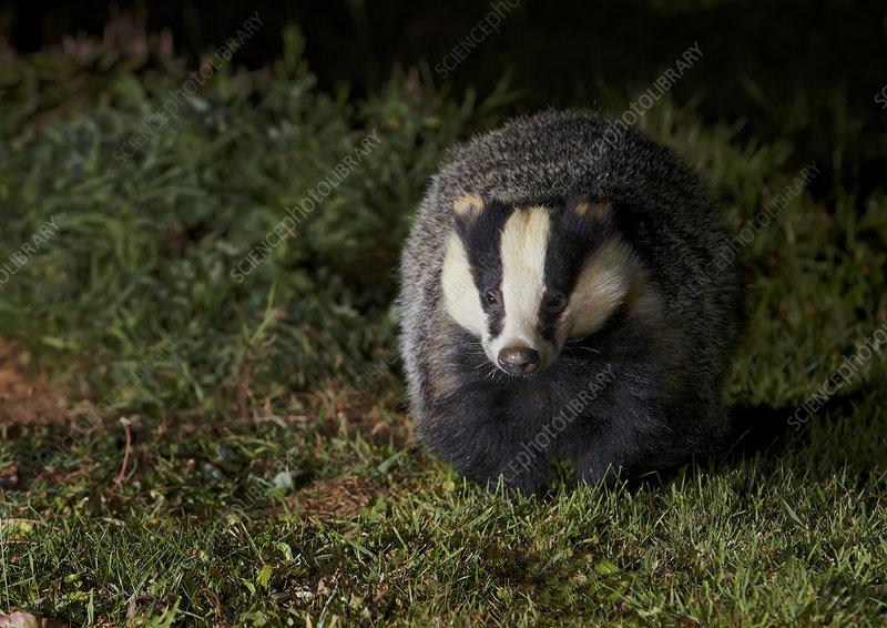 Badger at night, Oxfordshire, England, UK, October