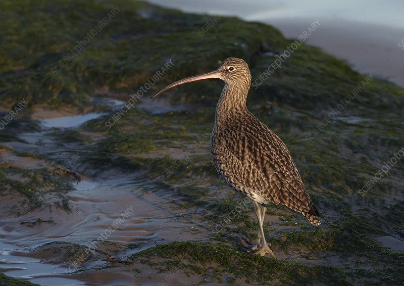 Curlew on beach, Wirral, England, UK, December