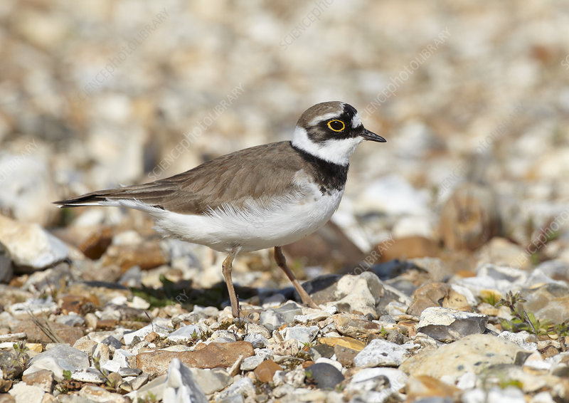 Male Little ringed plover