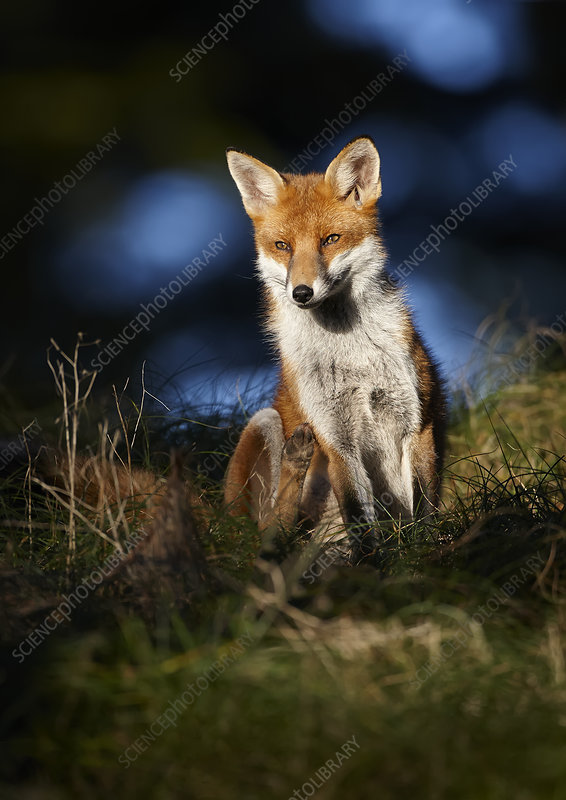 Red fox sitting in deciduous woodland