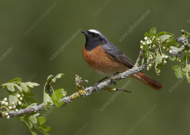 Male Redstart, perched on branch of flowering Hawthorn
