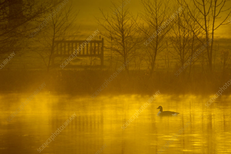 Canada goose silhouetted on lake at dawn