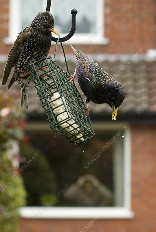 Common starling on bird feeder