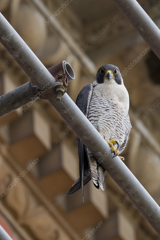 Adult female Peregrine falcon perched on scaffolding