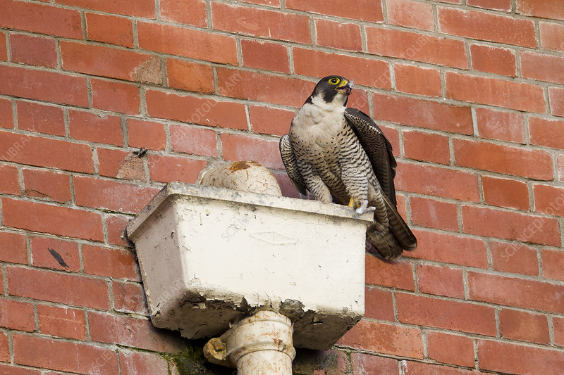 Adult female Peregrine falcon perched on a gutterbox