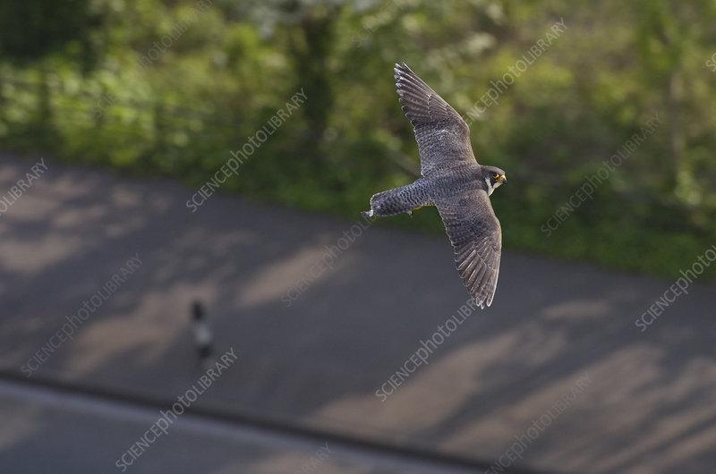Adult female Peregrine falcon in flight