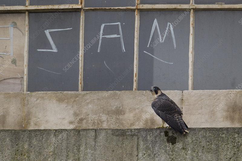 Juvenile male Peregrine falcon perched on a window ledge