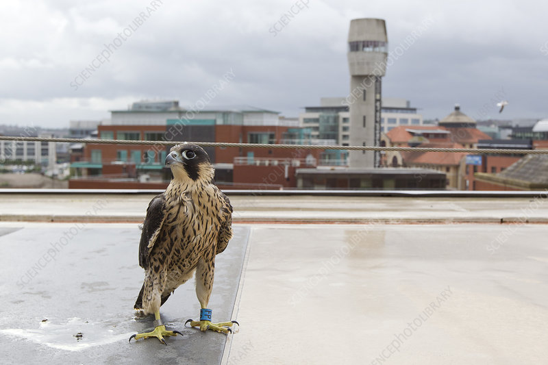 Juvenile male Peregrine falcon on a rooftop