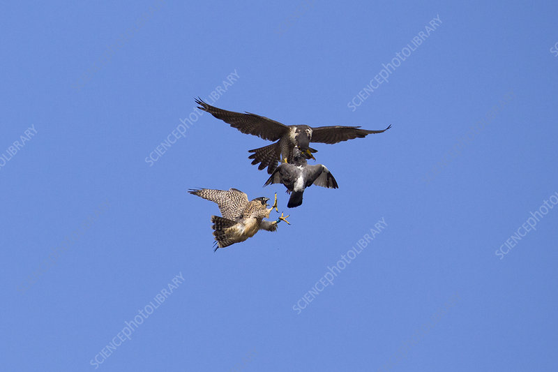 Adult male Peregrine falcon food passing a Feral pigeon