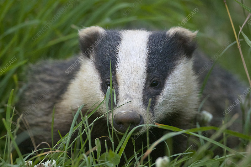 Adult Badger in long grass, Dorset, England, UK, July