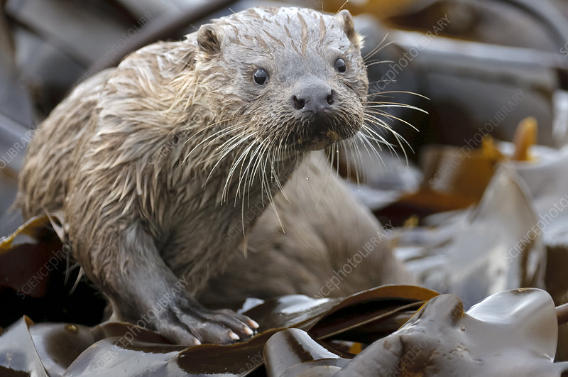 European river otter cub amongst kelp on shoreline