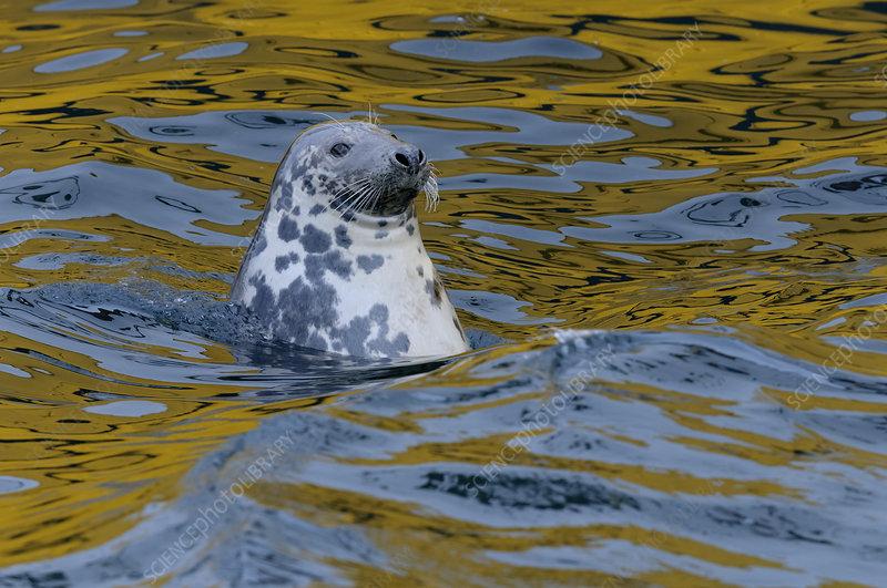 Grey seal scavenging fish around trawlers