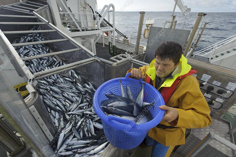 Atlantic mackerel in fish separator