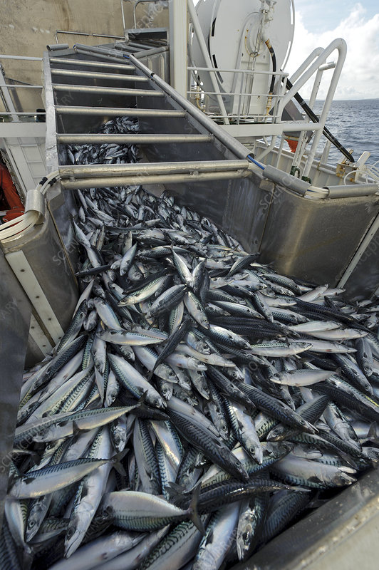 Catch of Atlantic mackerel in fish separator