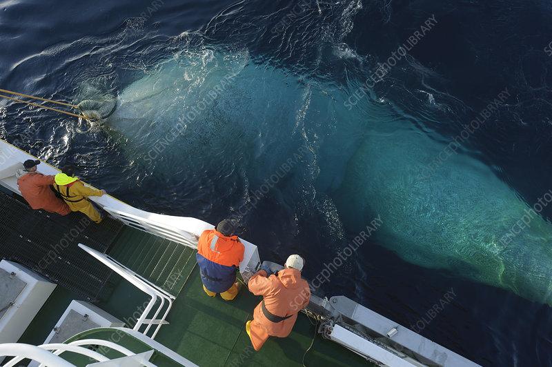 Net full of Atlantic mackerel being hauled in