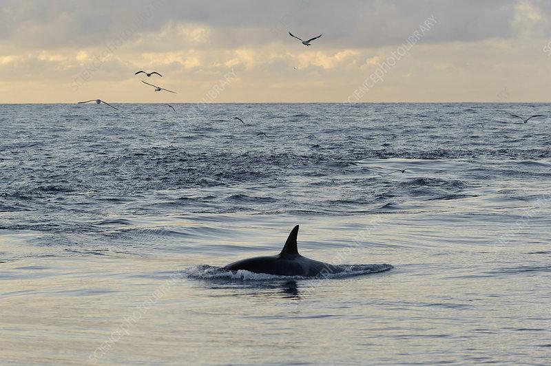 Killer whale following pelagic trawler
