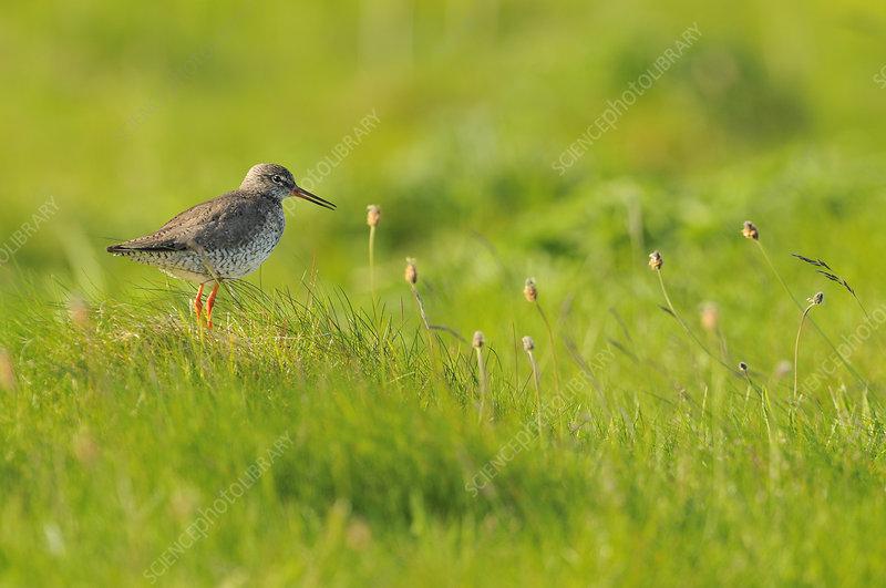 Redshank vocalising