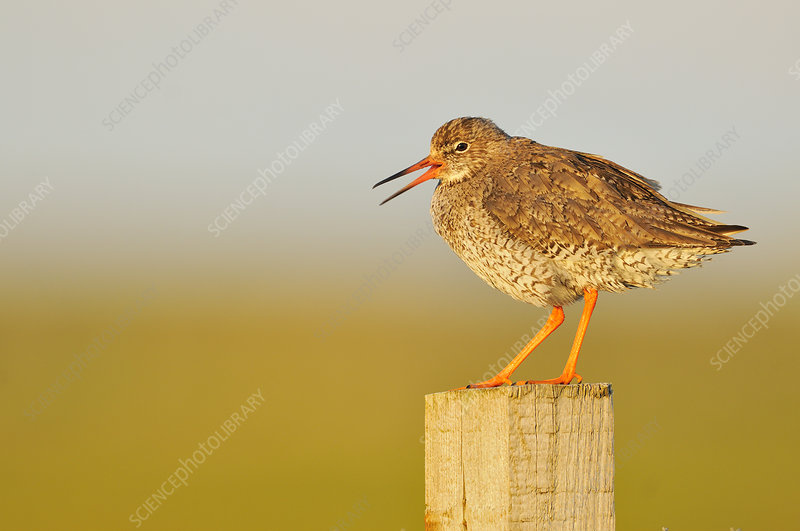 Redshank perched on a fencepost vocalising
