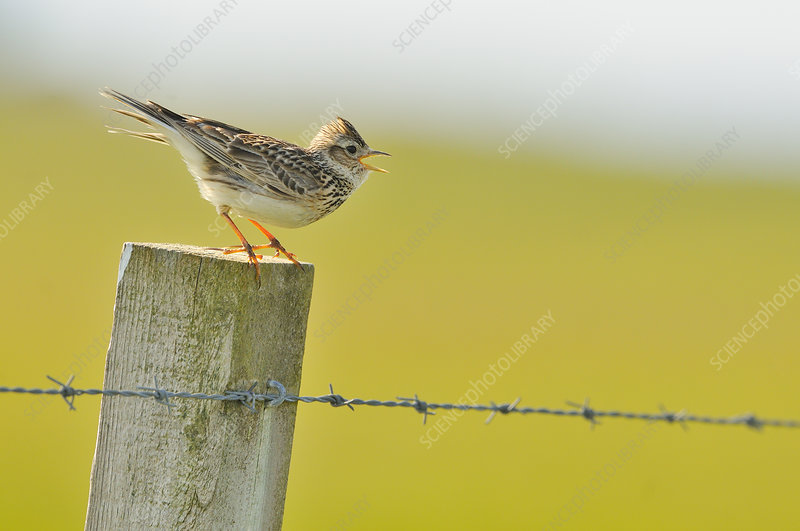Skylark perched on a fence post vocalising