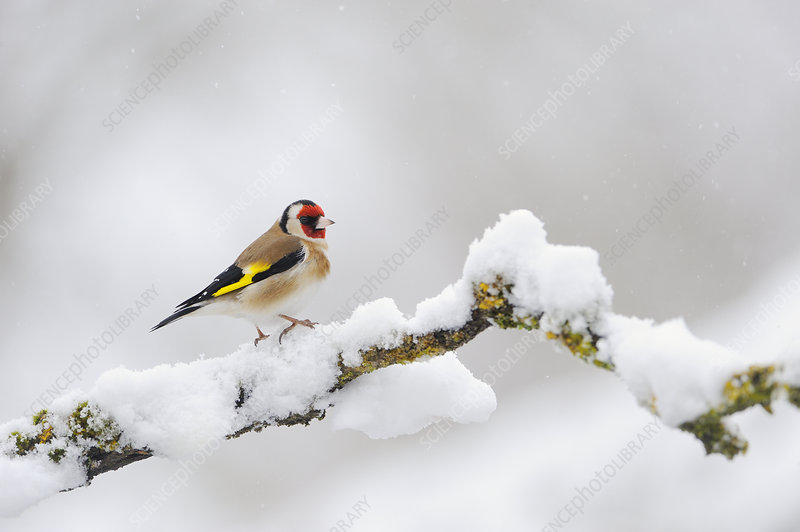 Goldfinch perched on a snow covered branch