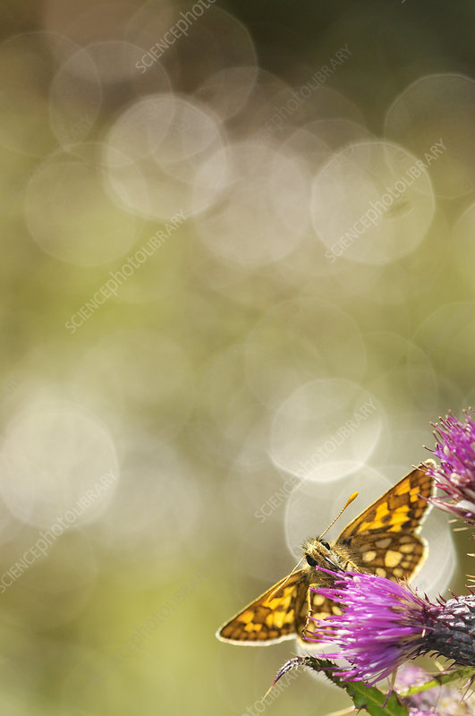 Chequered skipper nectaring on a thistle