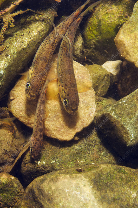 Brown trout fry on river bed, Cumbria, England, UK