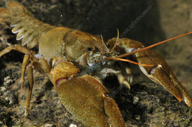 White clawed crayfish on river bed
