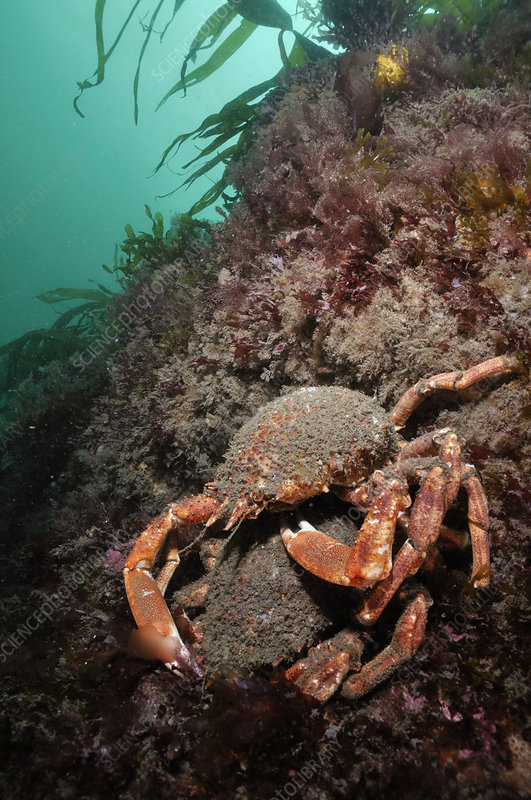 Spiny spider crab pair on rock covered with red algae