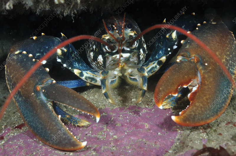 Common Lobster in a rock crevice