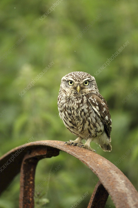 Little owl perched on a post