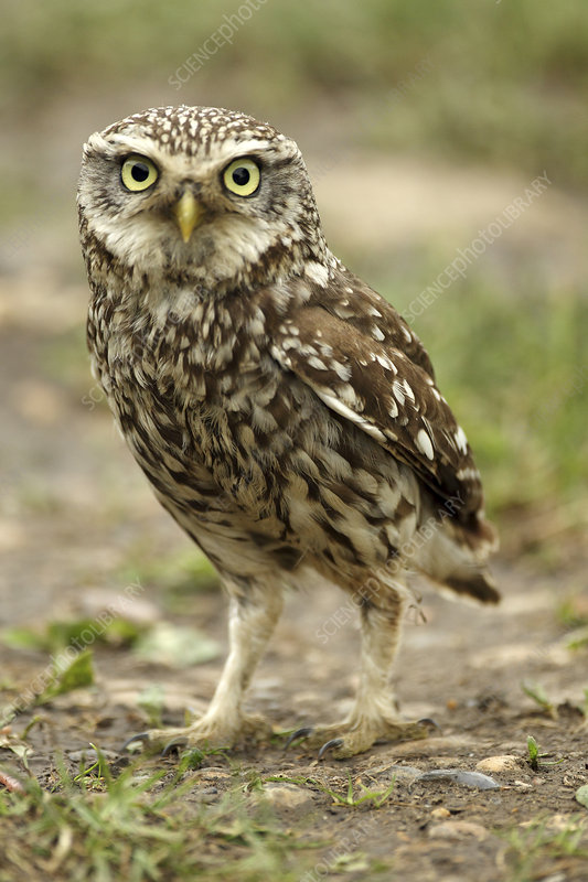 Little owl on the ground, Essex, England, UK, June