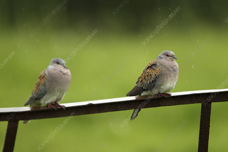 Two Turtle doves perched on a rusting iron rail