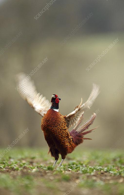 Male Pheasant displaying, Hertfordshire, England, UK