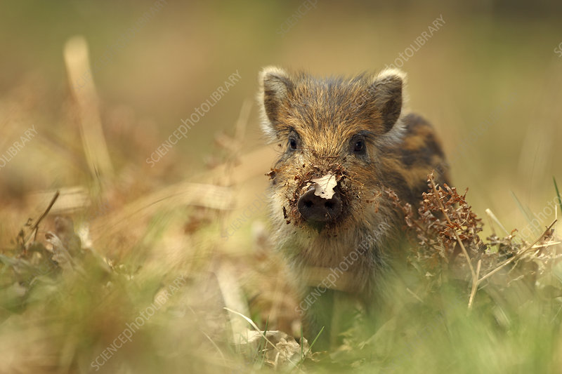 Wild boar piglet with leaf stuck on its nose