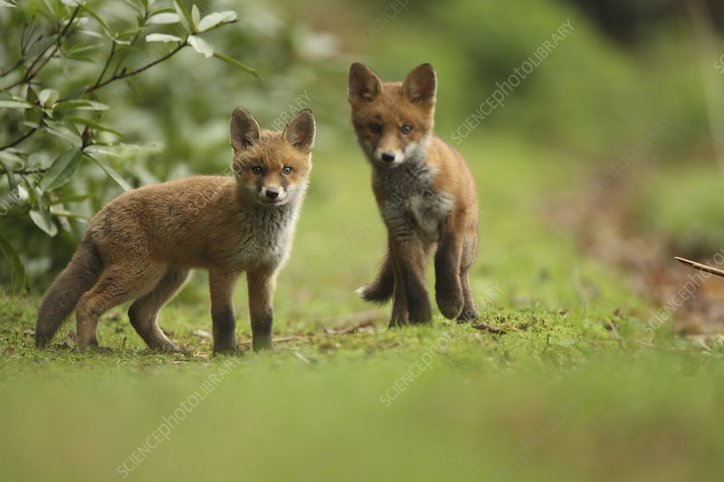 Red fox cubs, Hertfordshire, England, UK