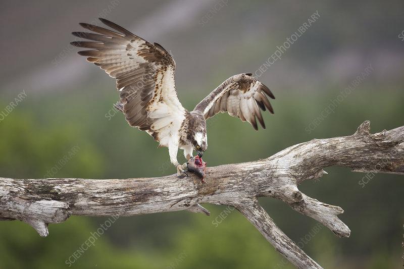 Osprey eating fish prey