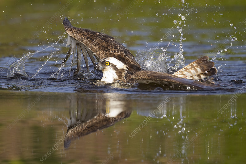 Osprey at surface of a loch after diving for a fish