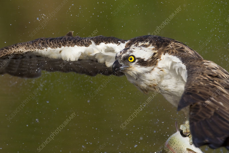 Osprey fishing, Cairngorms National Park, Scotland, UK