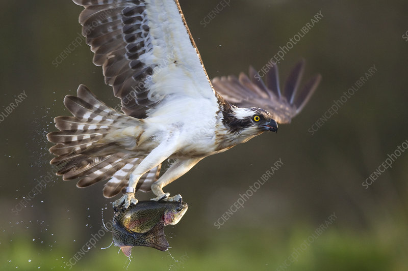 Osprey with fish prey, Cairngorms National Park, UK