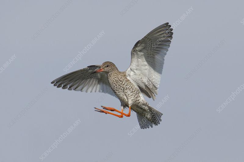 Redshank in flight, Outer Hebrides, Scotland, UK, June