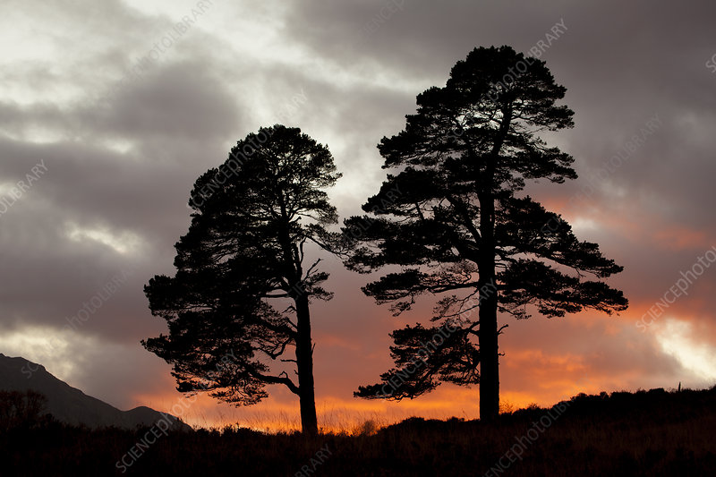 Two Scots pine trees (Pinus sylvestris) silhouetted