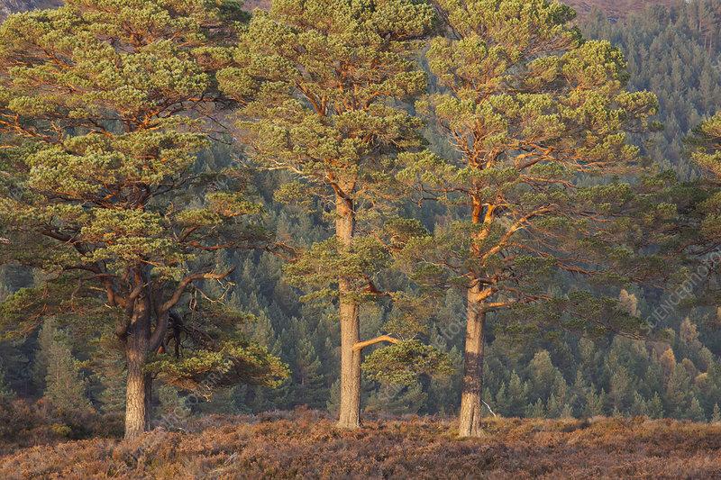 Three Scots pine (Pinus sylvestris) trees